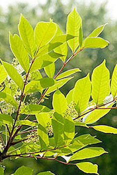 how to identify and get rid of poison ivy weeding wisely