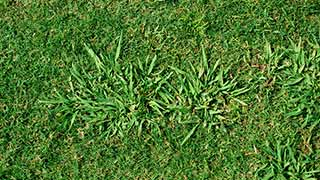 How To Get Rid Of Dallisgrass Weeding Wisely