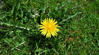 Dandelion Article Thb Image