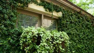English Ivy growing on a house.