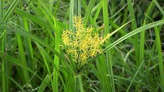 Yellow Nutsedge growing in a garden.