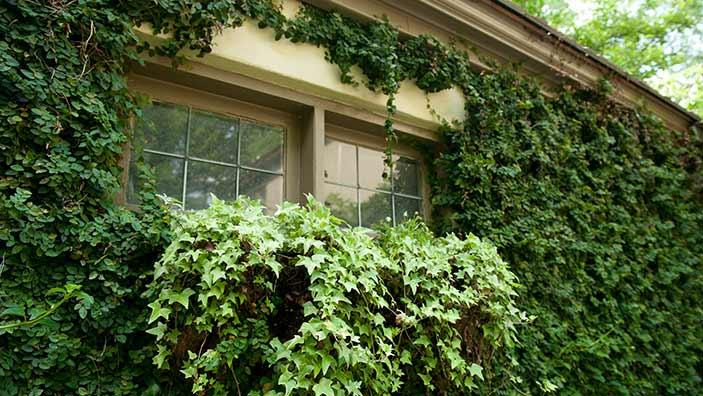 How to Get Rid of English Ivy - Weeding Wisely