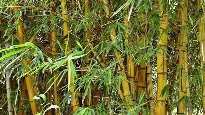 Bamboo Trees growing in a lawn.