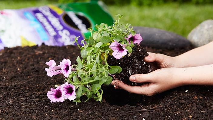 Pink flowers growing in a garden while a woman adds soil around them.