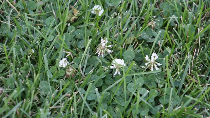 What is clover and how do i control it if you dream of a picture perfect lawn clover may be your nemesis known for its 3 part leaves and white flowers clover a perennial plant that returns mightylinksfo