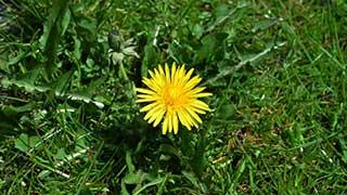 Dandelion growing in a lawn.