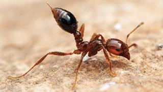 Fire ant on dirt ground.