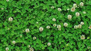 Clover growing in a lawn.