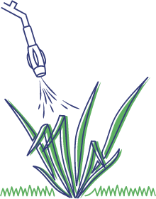Illustration of crabgrass.
