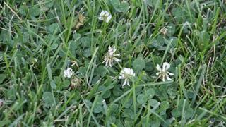 Clover growing in a field.