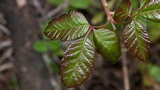 Poison Oak Article Thb Image