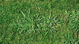 Dallisgrass