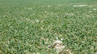 A lawn of Bermudagrass.